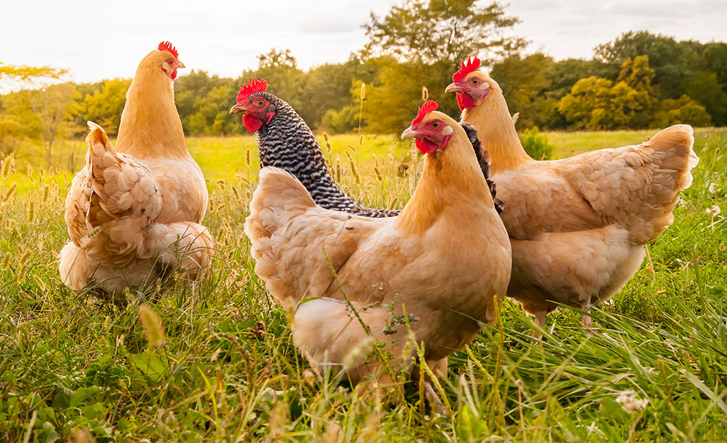 Chickens grazing in the grass.