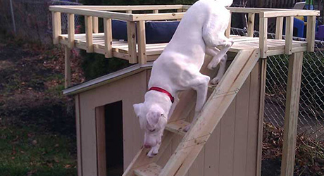 A dog going down the ladder of a dog house deck