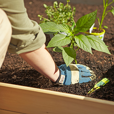 Person wearing garden gloves planting an edible plant in a raised garden bed