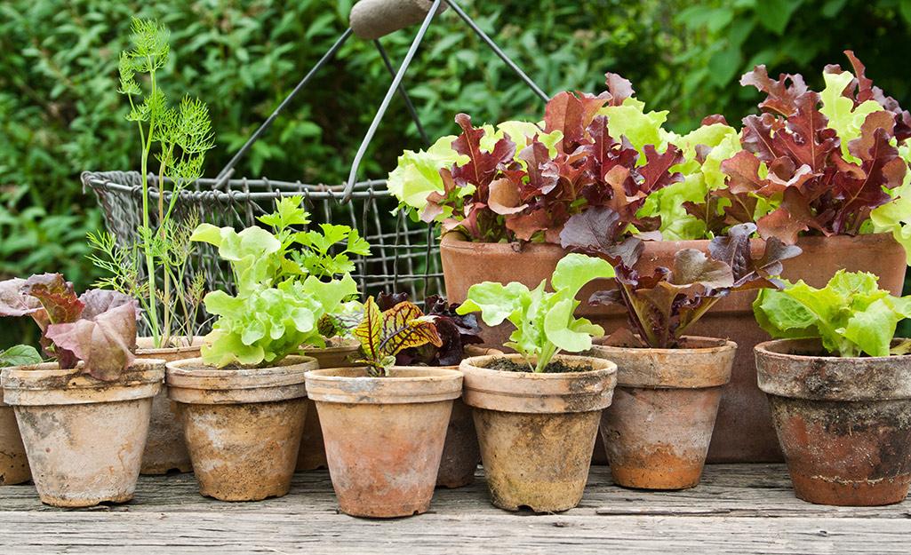 Lettuce growing in terra cotta pots