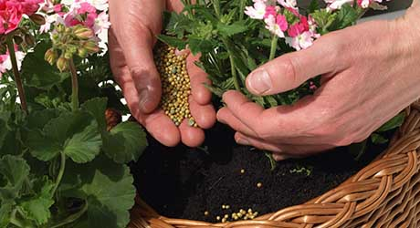A person applying granular fertilizer to the base of a plant in a planter.