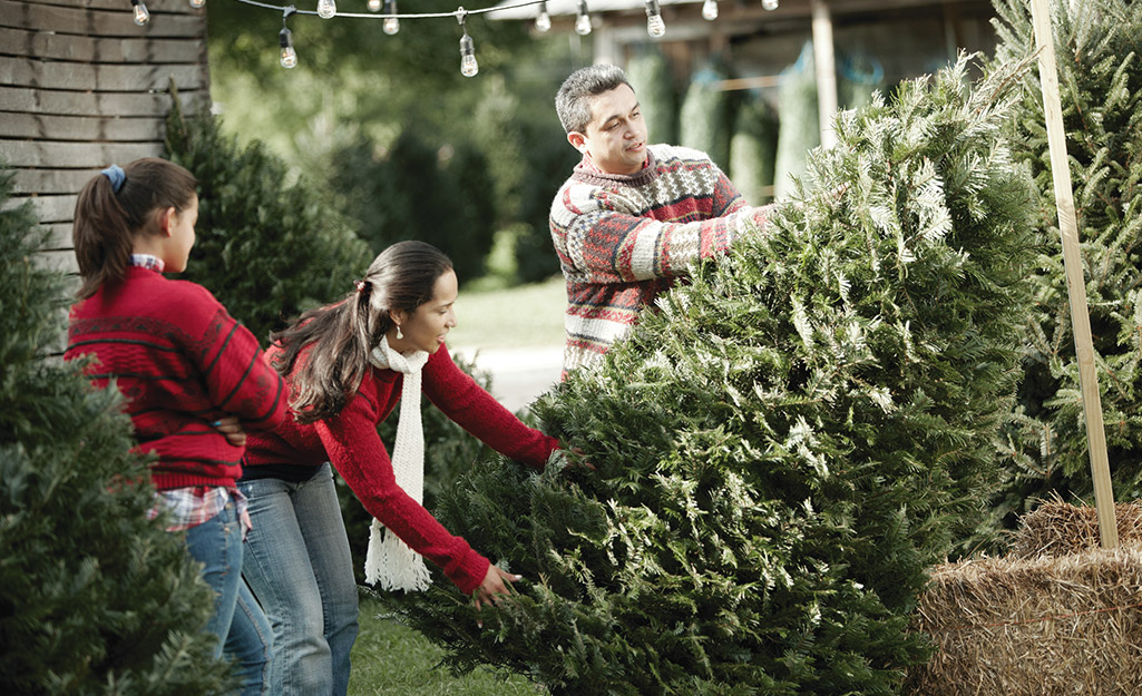 People choosing a Christmas tree from the bunch.