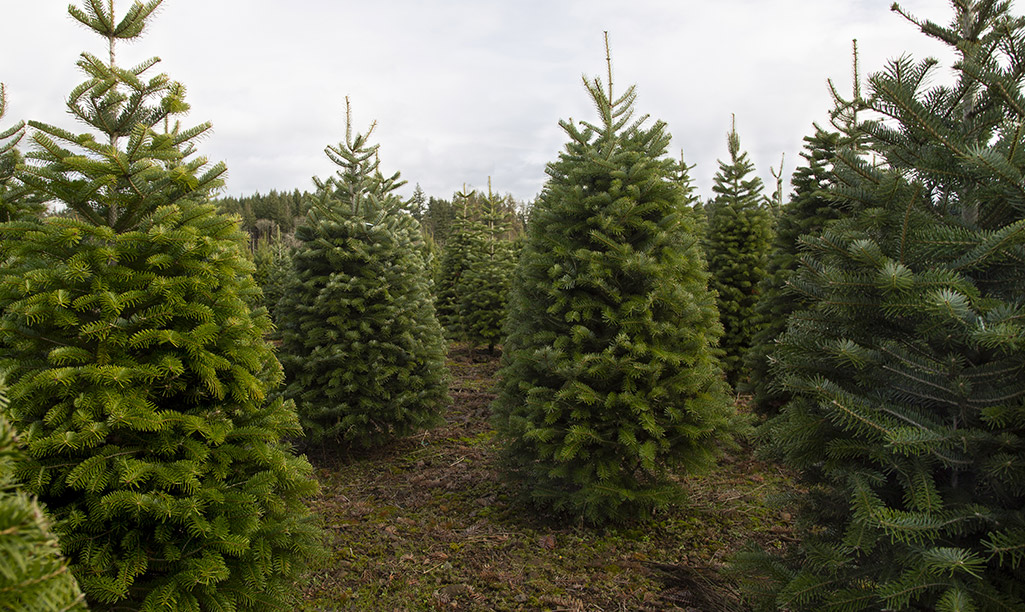 Many Christmas trees on a plot of land.