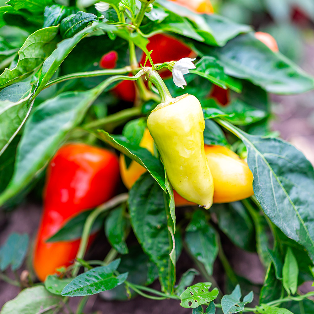 Peppers on the vine