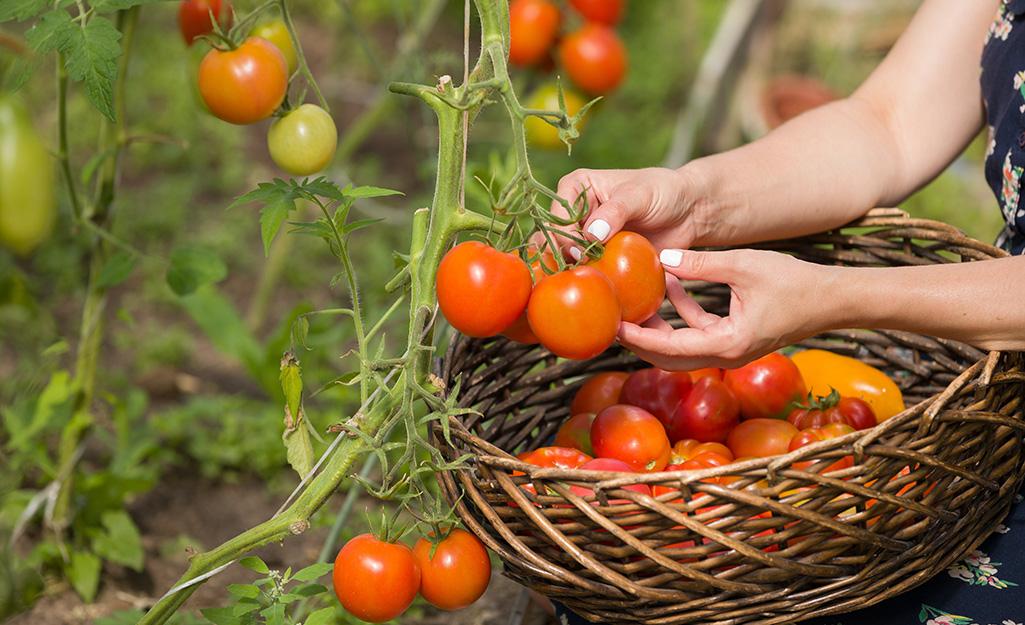 Gardener harvesting tomatoes