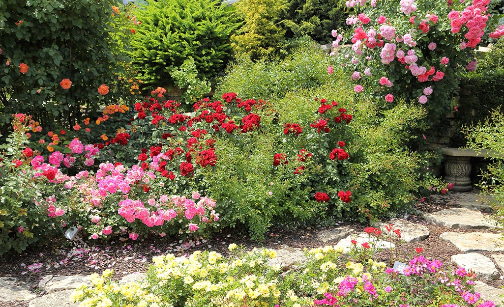Pink and red roses in a garden