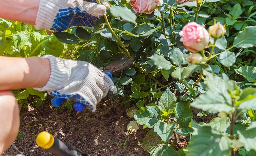 Gardener pruning roses
