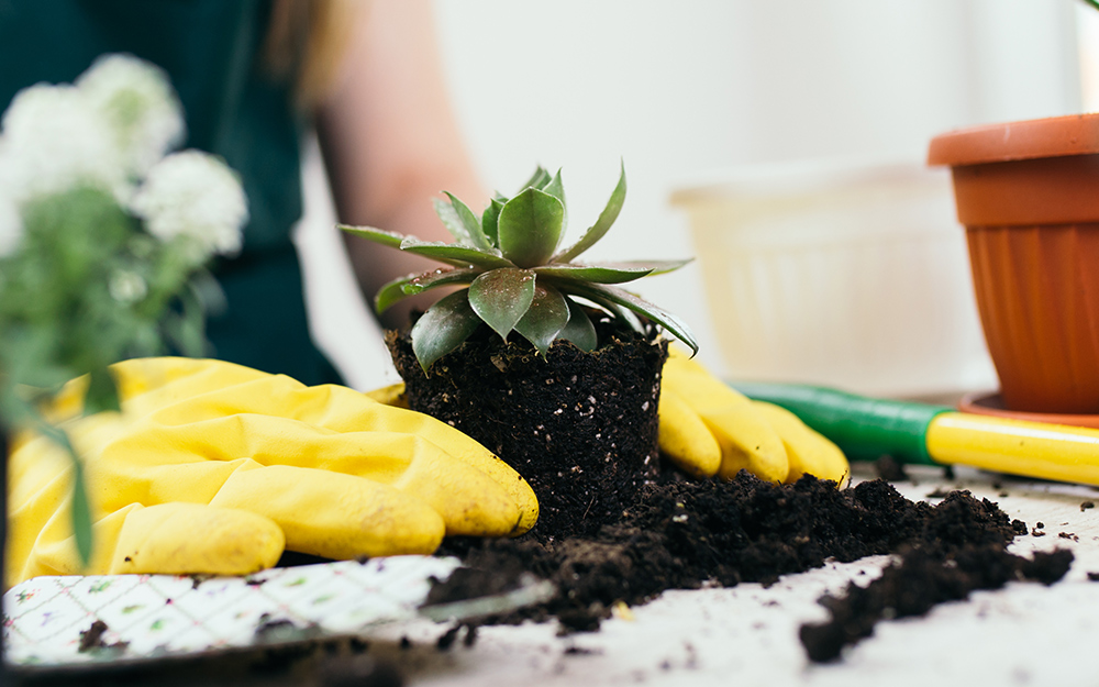 person wearing yellow rubber gloves repotting a succulent
