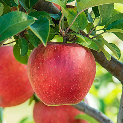 How to Choose a Fruit Tree
