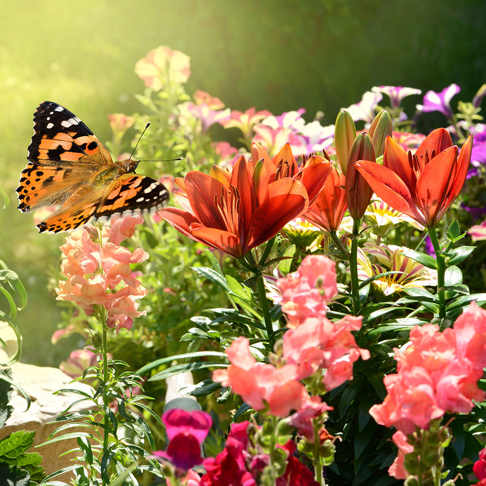 A butterfly landing on annual summer flowers in the garden.