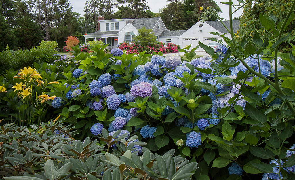Yellow lilies and blue hydrangeas in a sunny border in front of a white house in early summer.