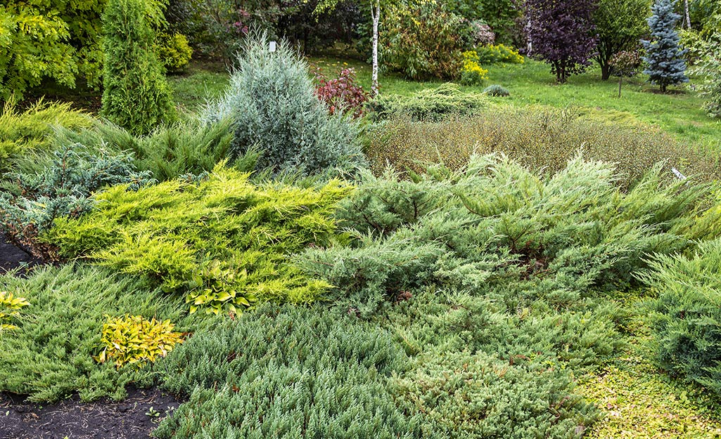 A garden bed filled with evergreens like juniper.