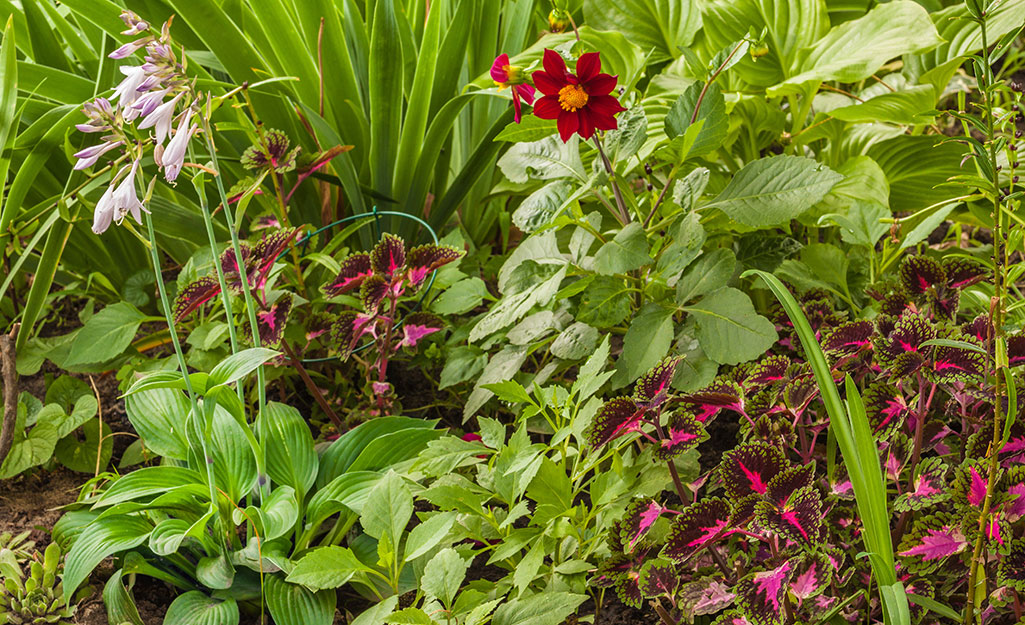 Hosta and coleus plants in a shady garden bed.