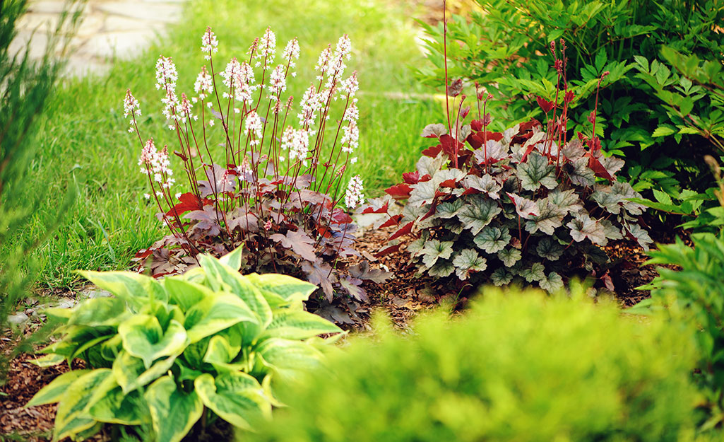 Heuchera and hosta plants on the edge of a shady flower bed.