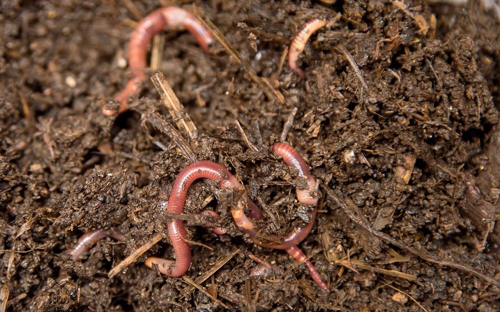 pink earthworms in dirt
