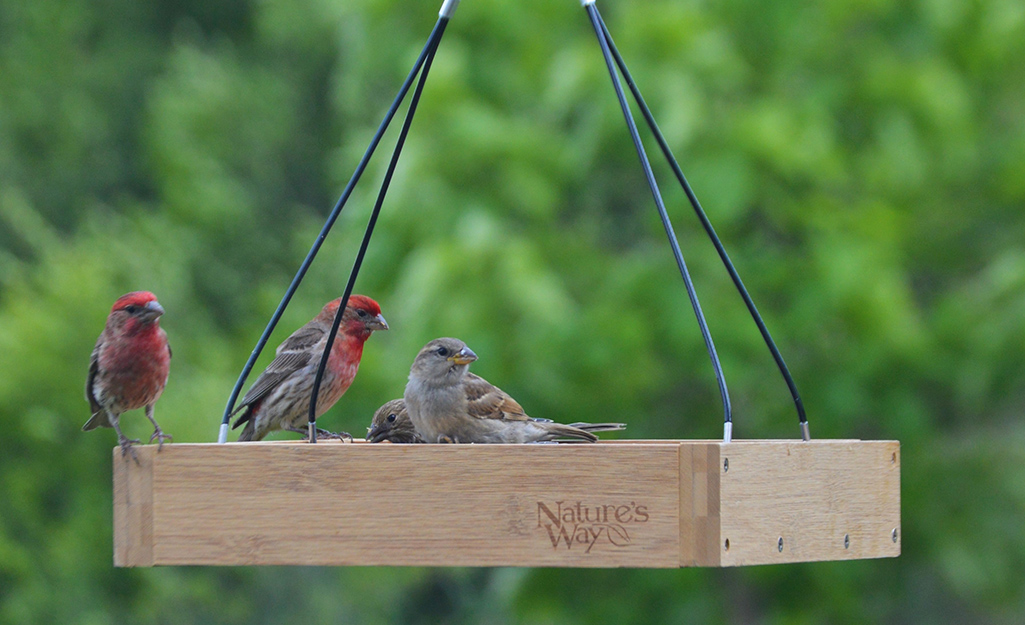 Male and female finches eating seeds from a wooden tray feeder.