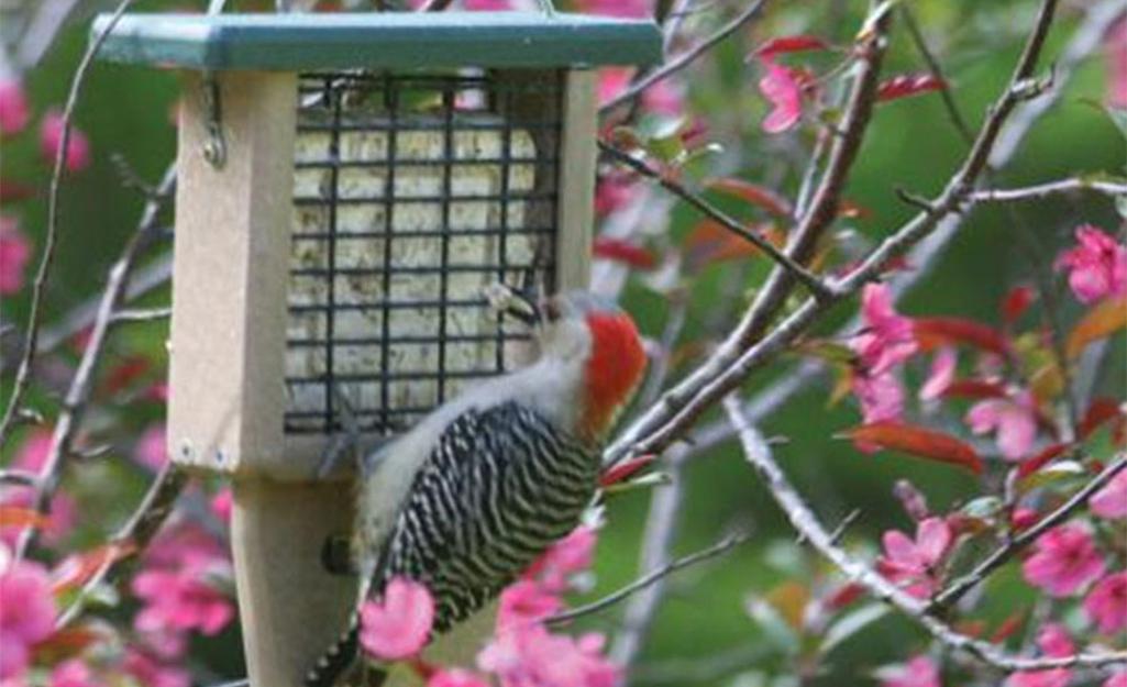 A woodpecker eating suet from a suet feeder.