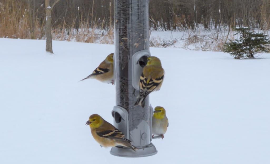 Goldfinches feeding from a tube feeder in a yard filled with snow.