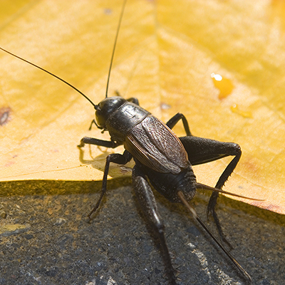 A close-up of a house cricket.