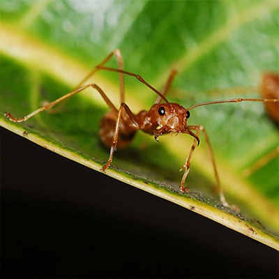 Get Rid of Fire Ants in Two Steps