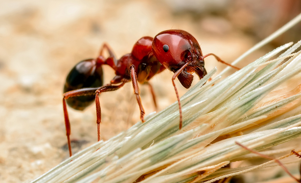 How To Get Rid Of Fire Ants The Home Depot