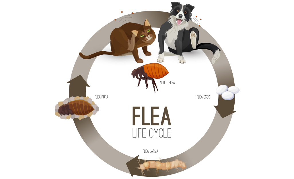 A graphic showing the life cycle of a flea.