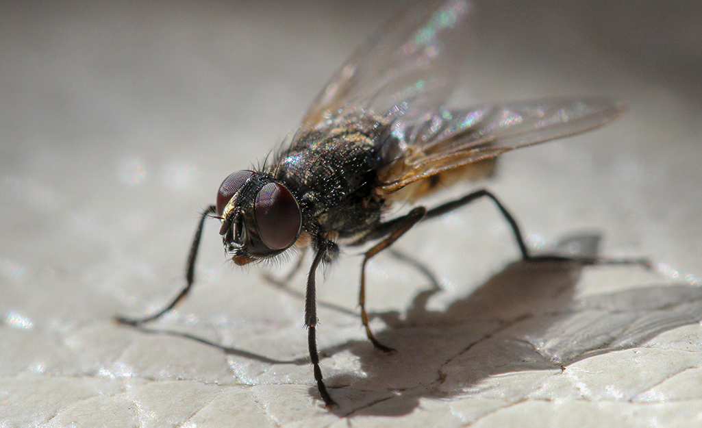 A close up of a house fly.