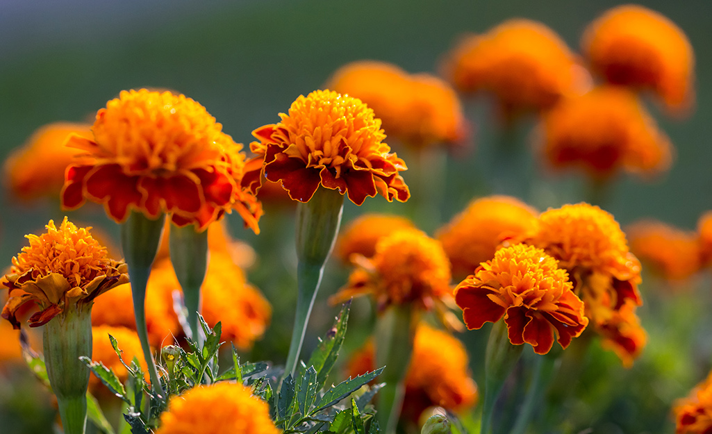 Orange marigold flowers.