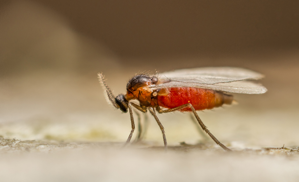 How To Get Rid Of Gnats The Home Depot
