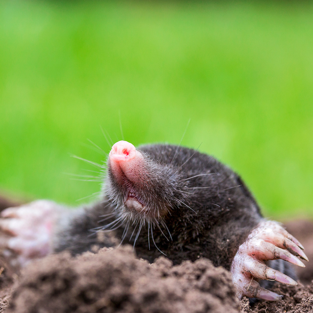 How To Get Rid Of Moles And Gophers The Home Depot