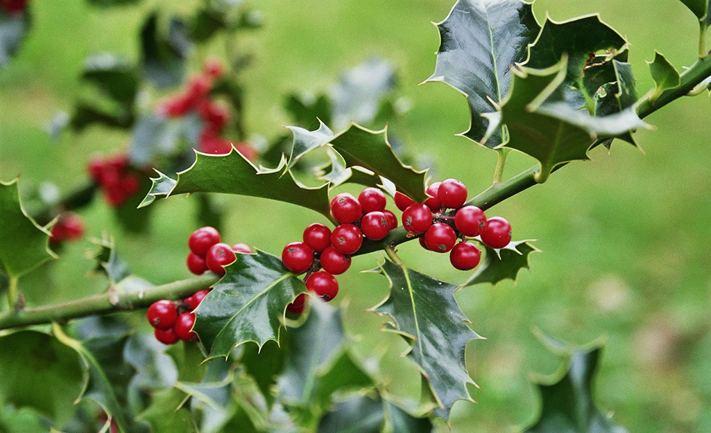 Close-up of a holly bush