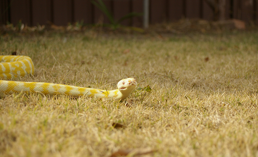 A yellow snake in the yard.