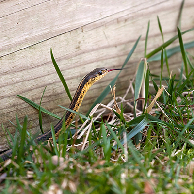 A snake in grass with tongue out and near a board and/or fence.