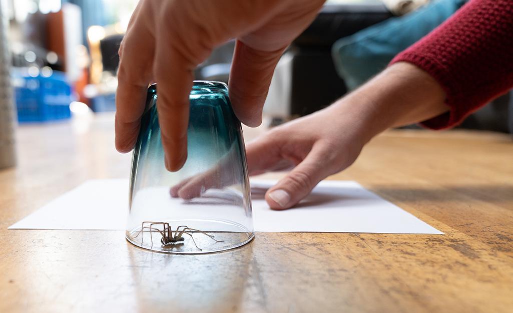 Một người trượt một tờ giấy dưới tấm kính có chứa một con nhện để vận chuyển nó ra ngoài trời.