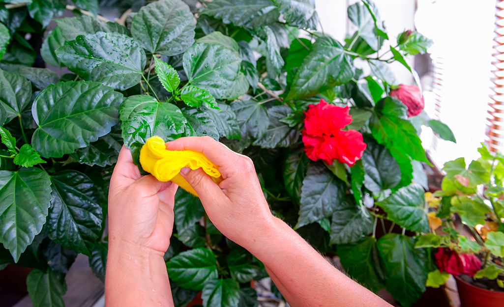 A person uses a cloth to wipe residue off a plant.