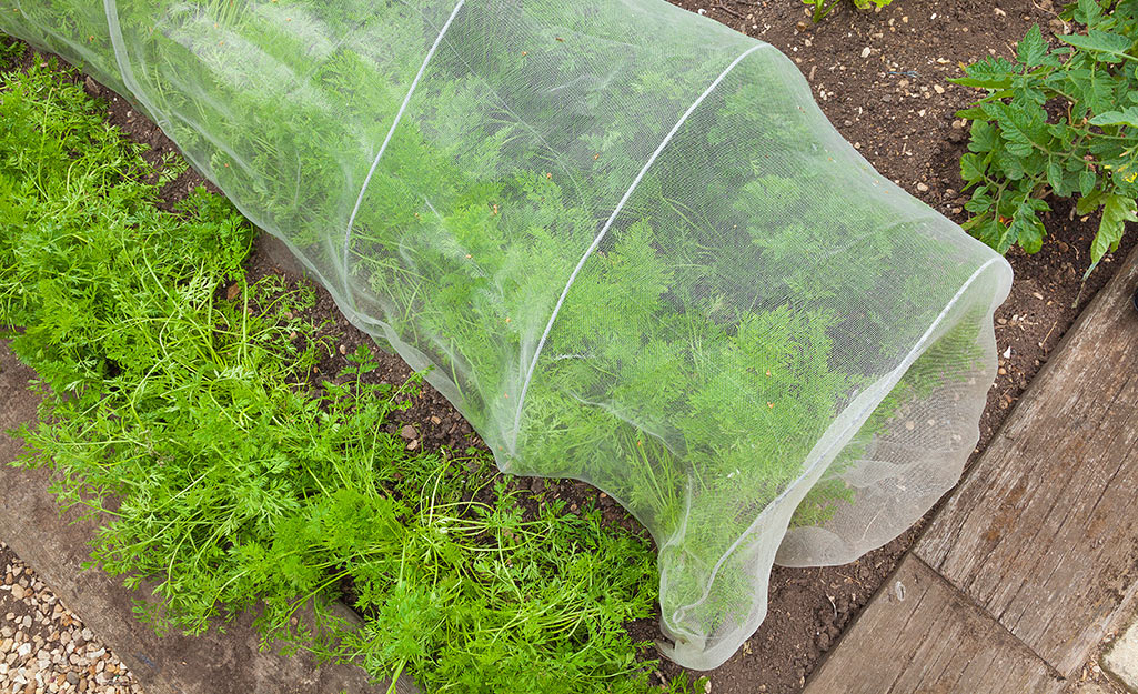 Row covers can protect plants from spittlebugs and other pests.