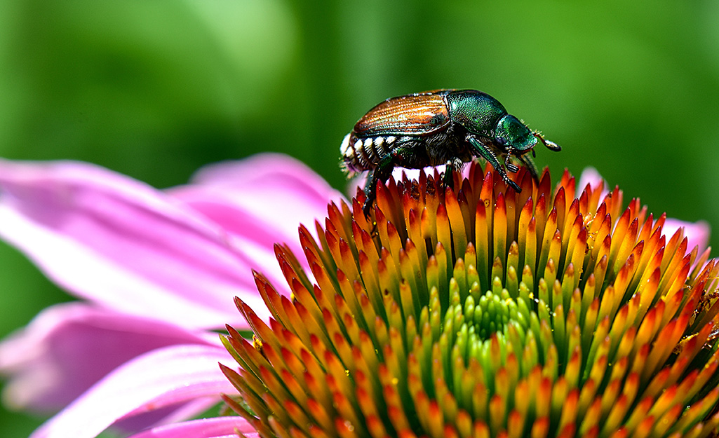 Japanese beetle on a pink flower