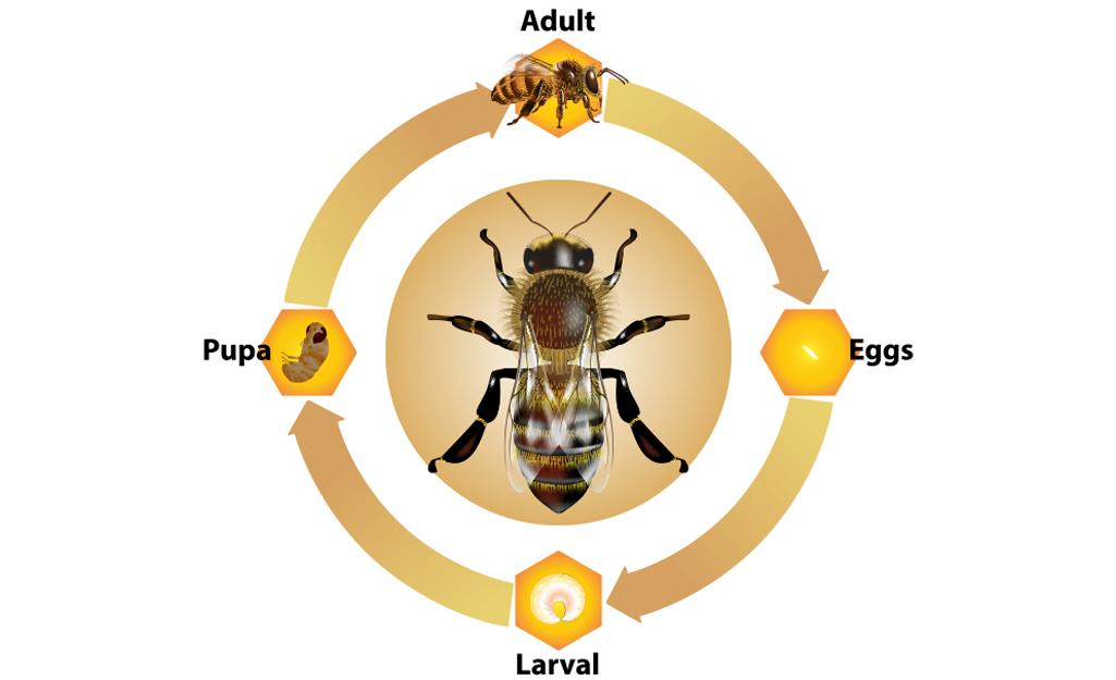 Life cycle of a wasp.