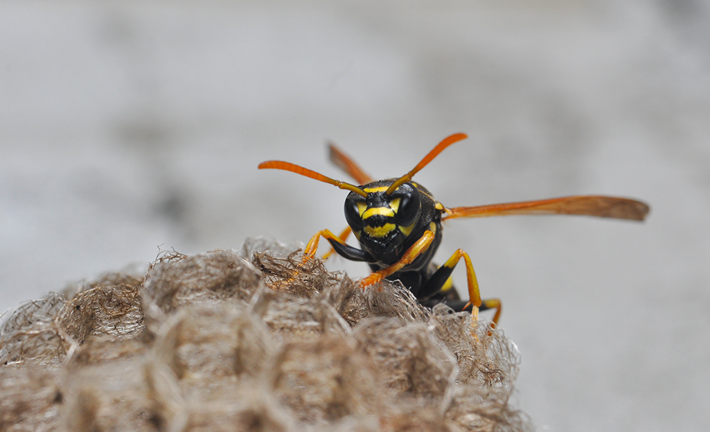 Wasp perched on its nest.