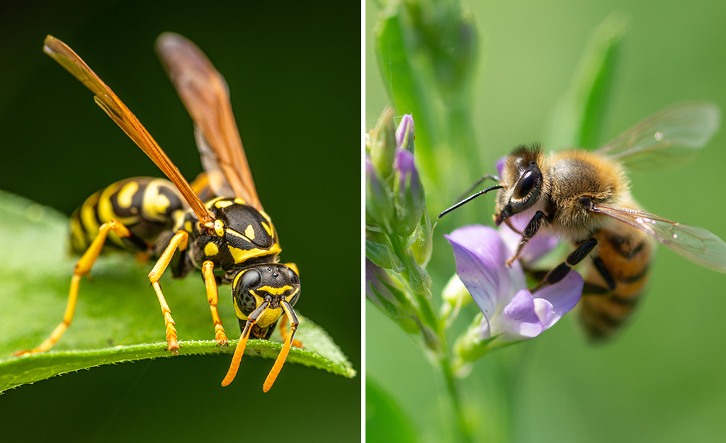 Comparison of a wasp on the left, a bee on the right.