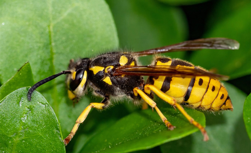 A yellow jacket resting on a green leaf.