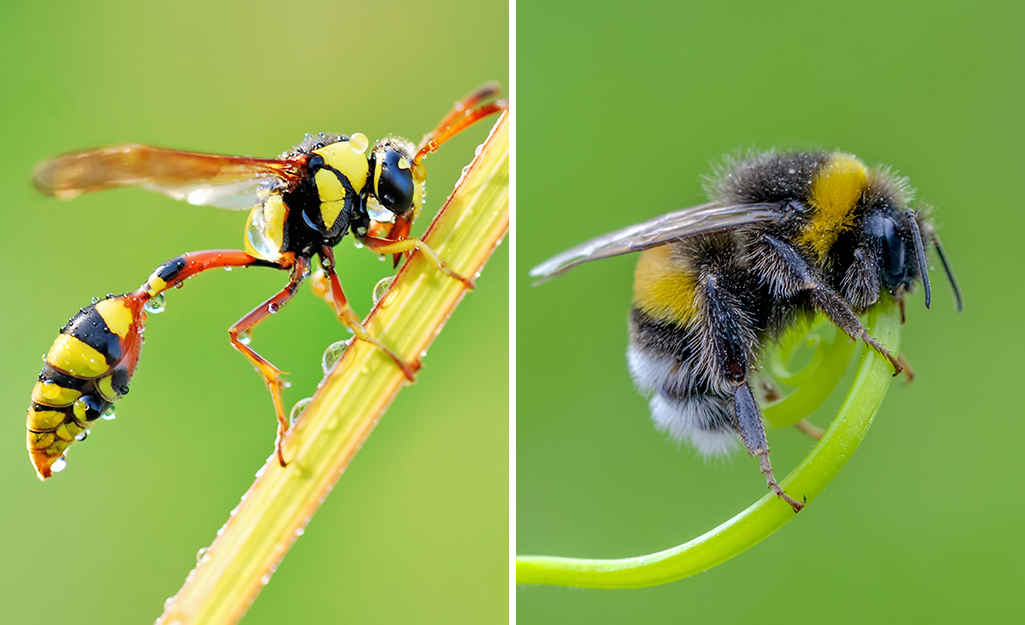 A dual image with a wasp on the left and a bumblebee on the right.