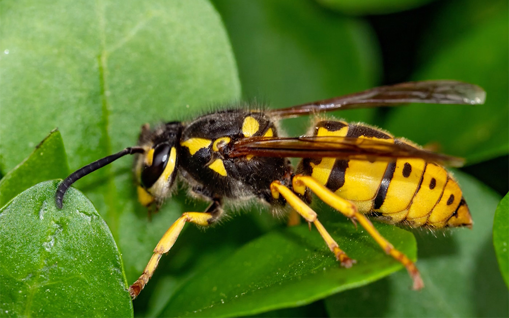Close up of a yellow jacket.