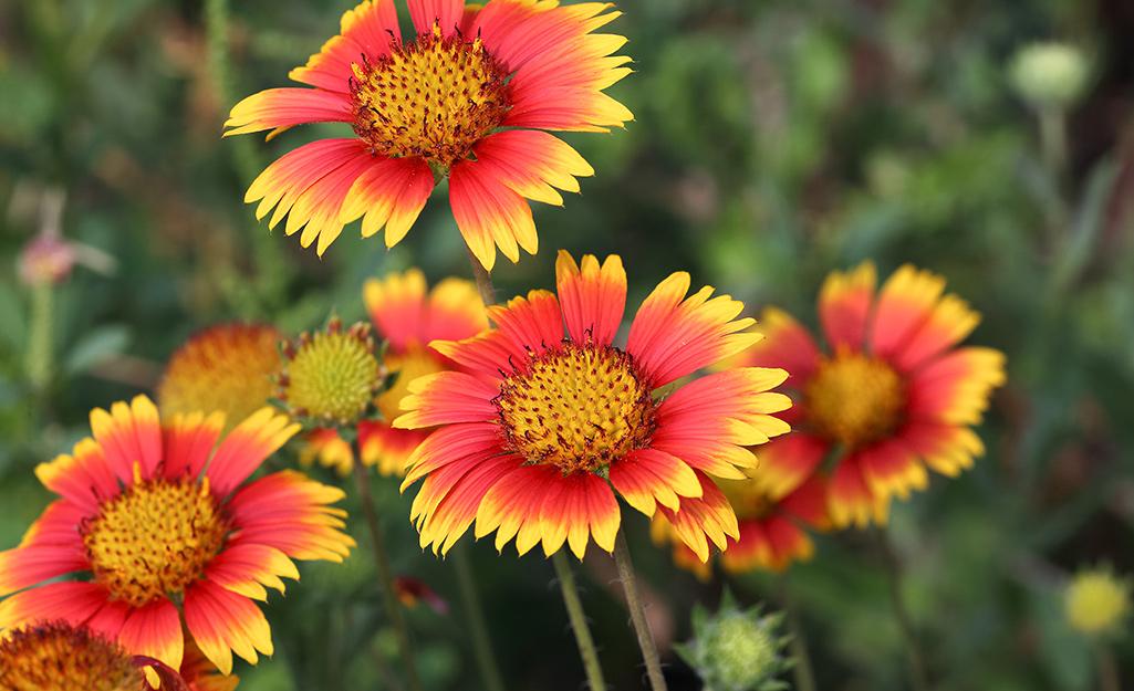 Gaillardia, blanket flower, in the garden