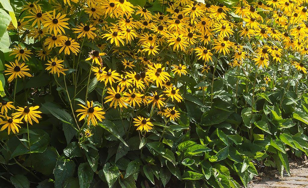 Black-eyed Susans, rudbeckia, in the garden