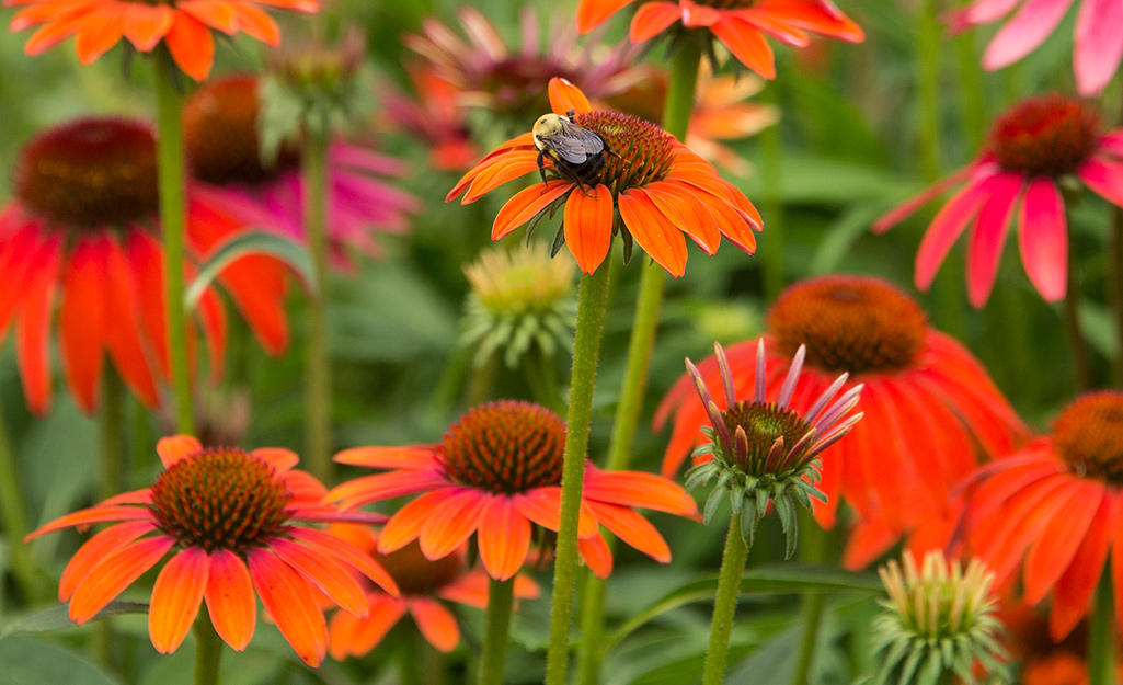 Red and orange coneflower in the garden