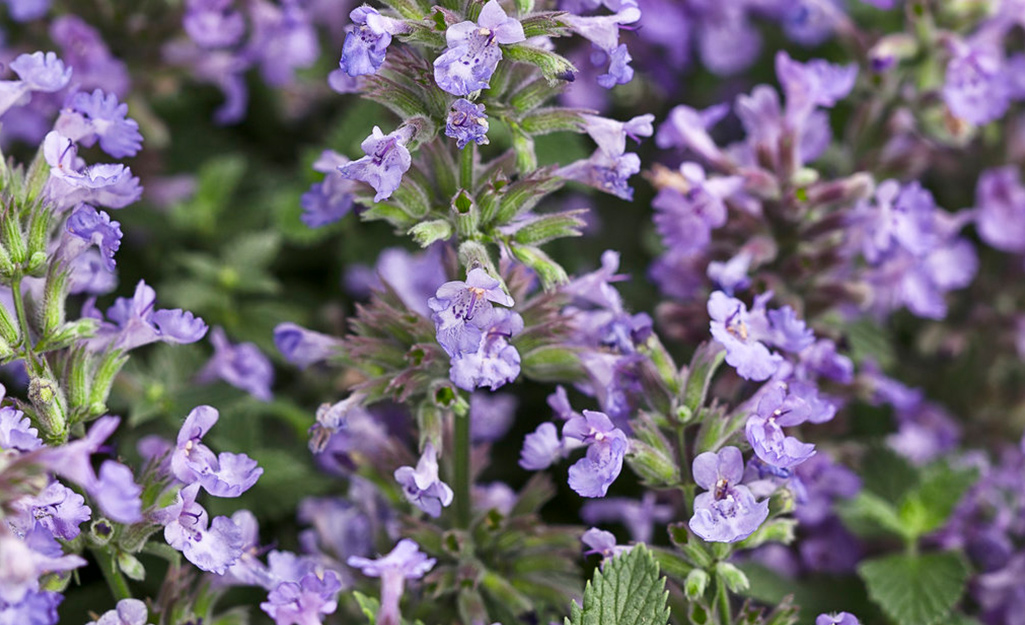 Purple catmint in the garden