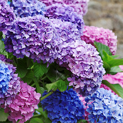 Pink and blue hydrangeas.