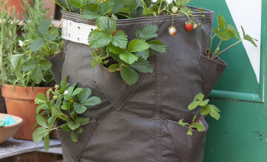 Strawberry plants in a grow bag