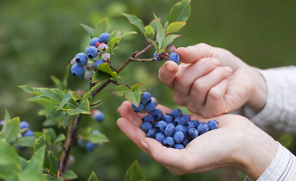 Plant Blueberry Shrubs in Spring or Fall